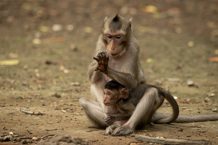 Long-tailed macaque examines hand while holding baby