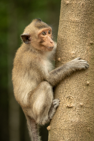 Long-tailed macaque on tree trunk looking right Banco de Imagens