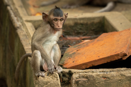 Baby long-tailed macaque sit on wall corner