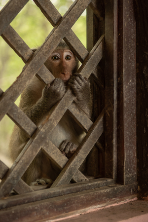 Long-tailed macaque sits clutching wooden trellis window