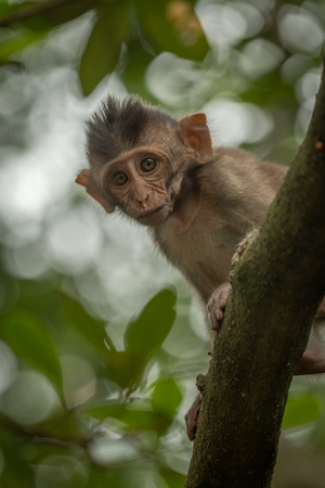 Baby long-tailed macaque looks down from tree