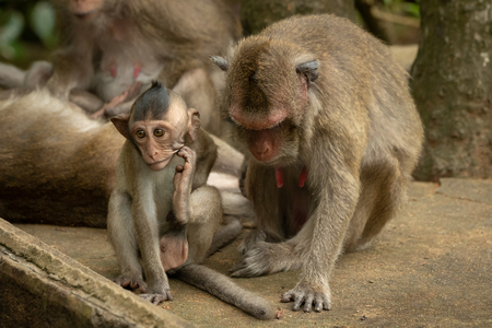 Baby long-tailed macaque scratches itself by mother