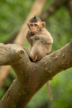 Baby long-tailed macaque on branch moving paws