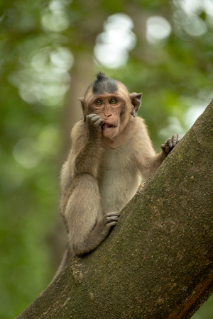 Long-tailed macaque nibbles shiny object in tree