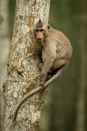 Long-tailed macaque on tree with curled tail