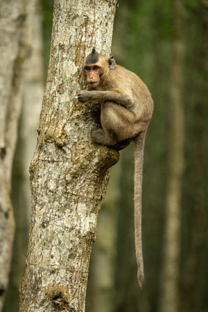 Long-tailed macaque on tree with tail dangling Stock Photo