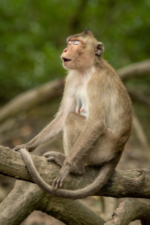 Long-tailed macaque on root with eyes closed