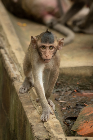 Baby long-tailed macaque on wall approaches camera Banco de Imagens