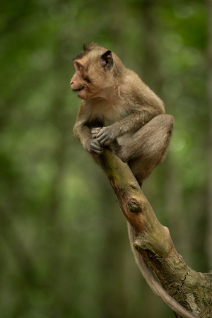 Baby long-tailed macaque opening mouth on branch Banco de Imagens