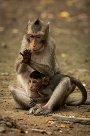 Long-tailed macaque grooms hand while holding baby