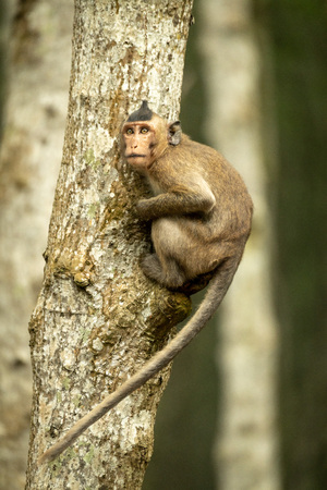 Long-tailed macaque on tree trunk looking up