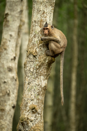 Long-tailed macaque in tree with tail dangling