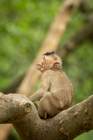 Baby long-tailed macaque on branch looking up