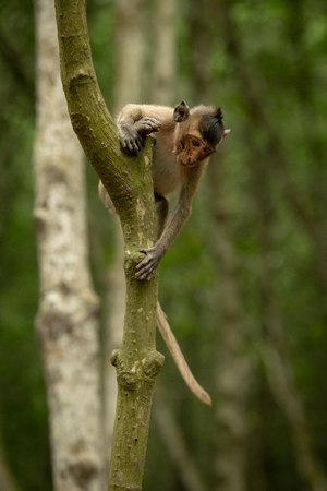 Long-tailed macaque looks down from tree trunk