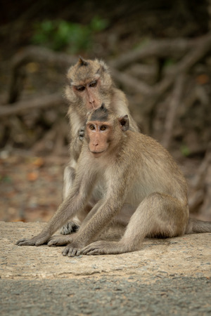 Long-tailed macaque grooms mate on concrete pathway