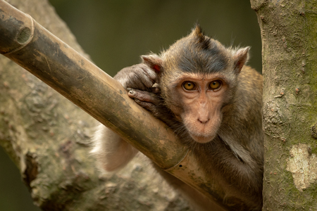 Long-tailed macaque on bamboo pole in tree Banco de Imagens