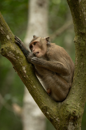 Long-tailed macaque grooming itself in forked branches