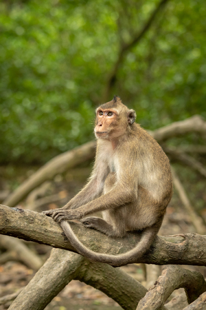 Long-tailed macaque on mangrove root looks up
