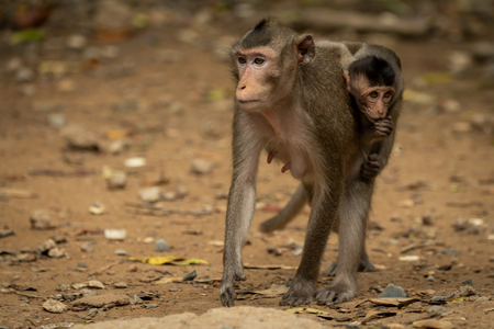 Long-tailed macaque carries baby over sandy ground