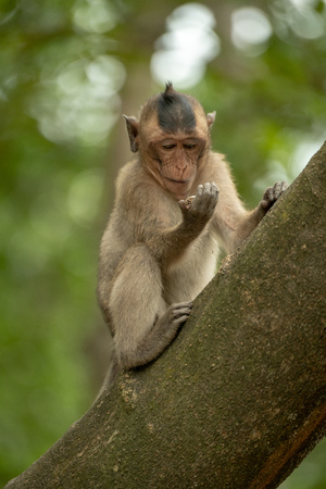 Long-tailed macaque regards shiny object in hand
