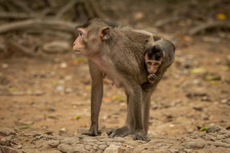 Long-tailed macaque carries baby on sandy rocks Banco de Imagens