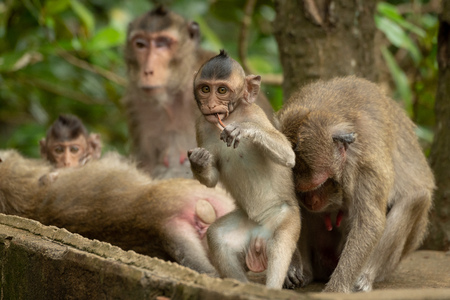 Baby long-tailed macaque stands up chewing twig Banco de Imagens
