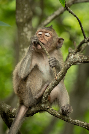 Baby long-tailed macaque on branch with twig Banco de Imagens