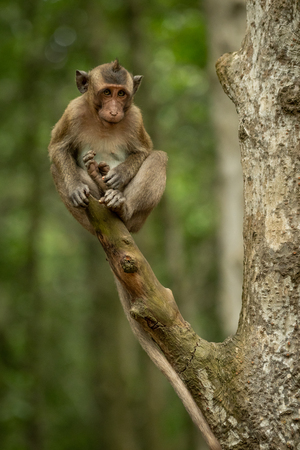 Baby long-tailed macaque sits at branch end Banco de Imagens