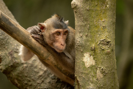 Long-tailed macaque on bamboo pole looks right