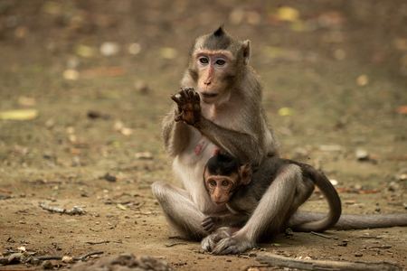 Long-tailed macaque grooms hand while carrying baby