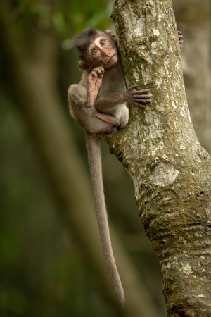 Baby long-tailed macaque clings to tree trunk Banco de Imagens