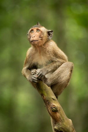 Baby long-tailed macaque looking up on branch Banco de Imagens