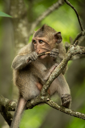 Baby long-tailed macaque in tree gnawing twig Banco de Imagens