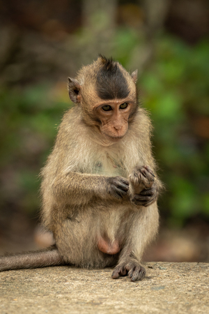 Baby long-tailed macaque grooming foot on wall Banco de Imagens