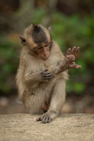 Baby long-tailed macaque grooming leg on wall