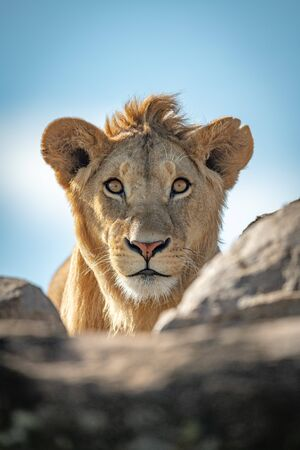 A young male lion pokes his head above a rocky ledge under a blue sky. Stock Photo