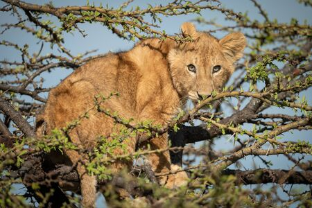 A young lion cub stands in a thorn tree under a blue sky. He is staring at the camera surrounded by branches.
