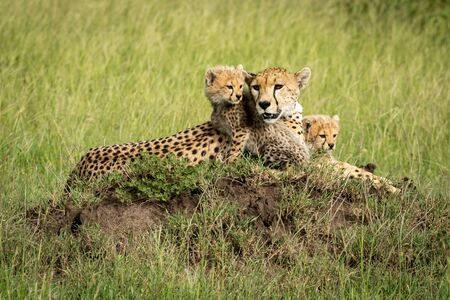 A female cheetah lies on a termite mound in a grassy plain with her two cubs sitting next to her. They all have brown fur covered with black spots but are looking in different directions. 스톡 콘텐츠