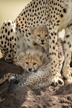 Two cheetah cubs cuddle up under the tummy of their mother. They have brown, spotted coats and are looking straight at the camera.