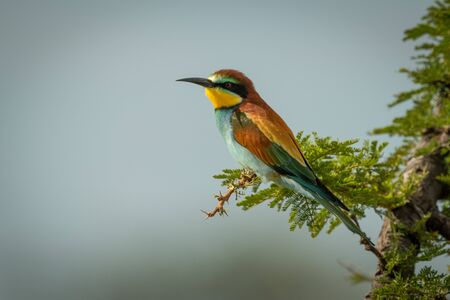 A European bee-eater is perched on a leafy branch in profile, facing left. It has brown, blue, green and yellow feathers and has a black stripe over its eye.