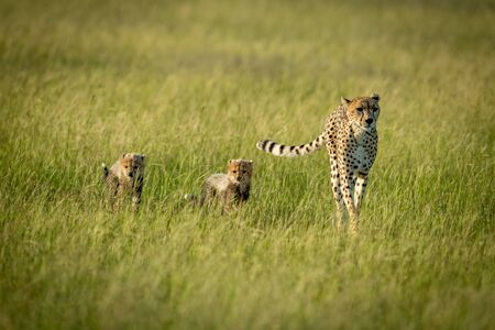 A female cheetah walks across on a grassy plain with her two cubs next to her. They all have brown fur covered with black spots and are scanning the savannah. 스톡 콘텐츠