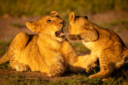 Two lion cubs play fight in the grass with one about the slap the other with its paw and the other opening its mouth. They have golden coats that look even warmer in the early morning light. Stock Photo