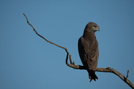 A brown snake-eagle with its head turned perches on a twisted dead branch against the backdrop of a perfect blue sky. It has brownish-grey feathers and piercing yellow eyes.