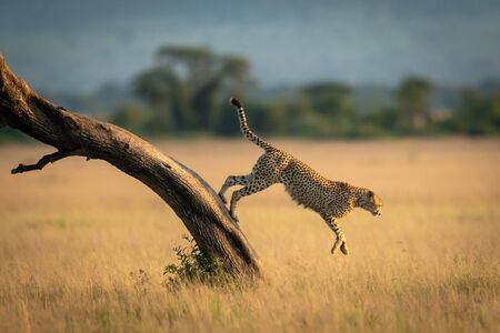 A male cheetah jumps down from the diagonal trunk of a tree. He has brown fur covered with black spots, and in the background can be seen a line of trees. Stock Photo