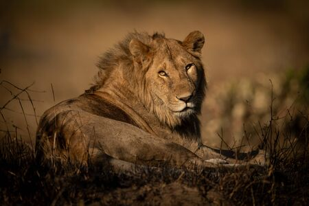 A male lion lies in a patch of burnt grass looking straight into the camera. He is turning his head and has a catchlight in his eye.