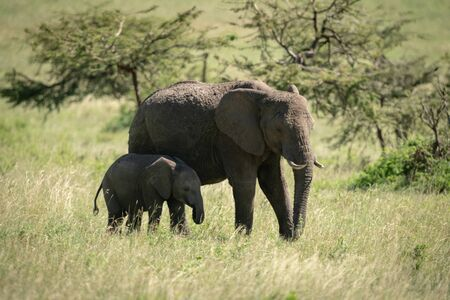 African bush elephant and calf eating grass Stock Photo