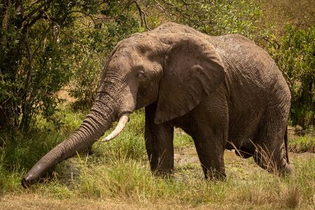 African bush elephant in mud stretching trunk