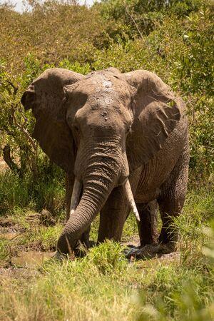 African bush elephant drinking from muddy pool