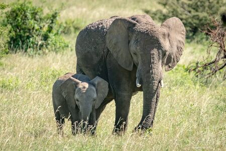 African bush elephant and calf stand side-by-side Stock Photo