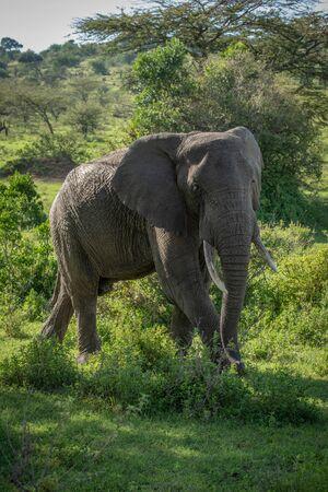 African bush elephant walks in dappled sunlight